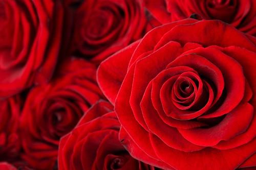 Tausend rote Rosen - Kölsche Katti & Schunkelpitter