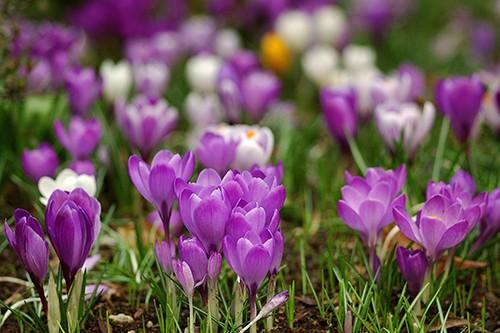Tulpen aus Amsterdam - MG Andy
