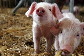 Du mußt ein Schwein sein - Die Prinzen
