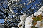 Wenn die weißen Rosen blühen - Semino Rossi