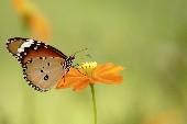 Butterfly - Daniel Gerard