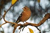 Silverbird am Himmelszelt - Calimeros