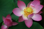 Lotusblume - Flippers