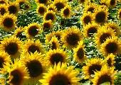Vielen Dank für die Blumen - Udo Jürgens