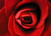 Es blüht eine Rose zur Weihnachtszeit - René Kollo